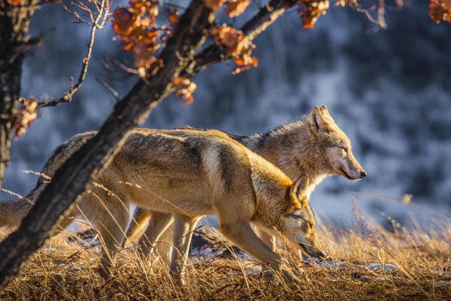 Cô gái Mông Cổ với sở thích nuôi sói khiến 3 người bạn trai đều bỏ chạy - Hình 2