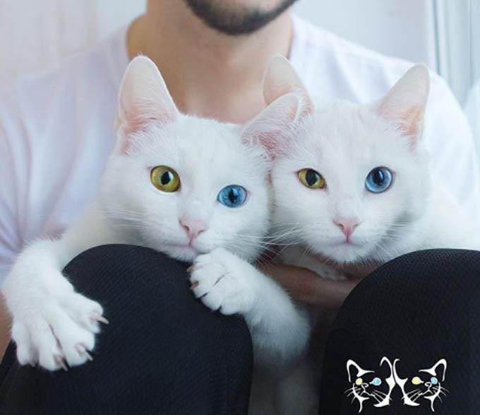 Hai cô mèo song sinh khiến mạng xã hội điên đảo vì sở hữu đôi mắt dị sắc cực đẹp - Hình 6