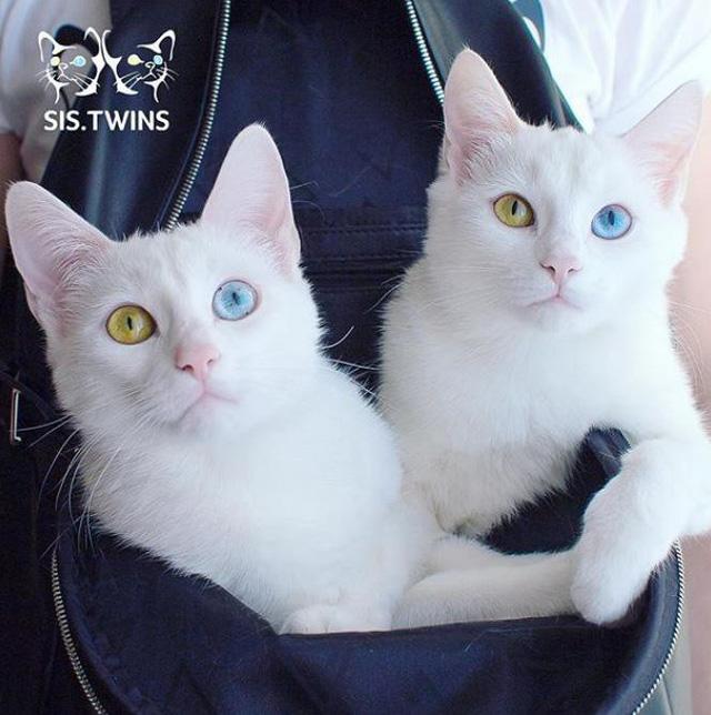 Hai cô mèo song sinh khiến mạng xã hội điên đảo vì sở hữu đôi mắt dị sắc cực đẹp - Hình 7