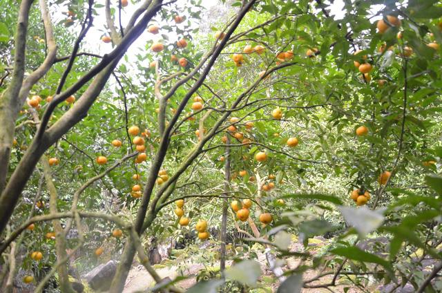 Vườn quýt trong lân đá quý hiếm, có một không hai tại Việt Nam - Hình 25