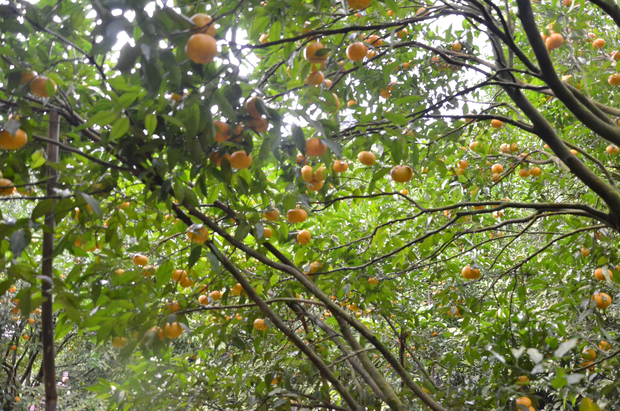 Vườn quýt trong lân đá quý hiếm, có một không hai tại Việt Nam - Hình 24