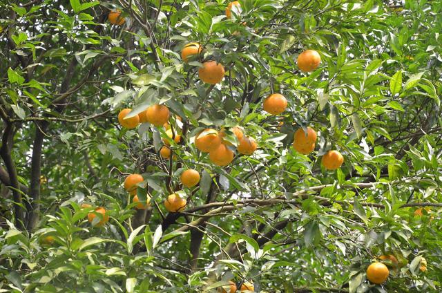 Vườn quýt trong lân đá quý hiếm, có một không hai tại Việt Nam - Hình 29