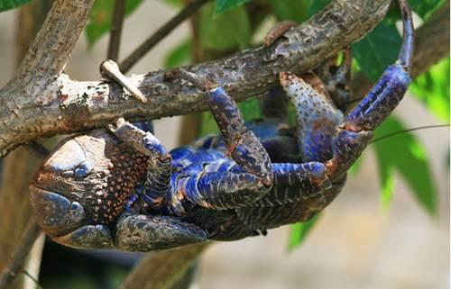 Xem loài cua khổng lồ chuyên đi trộm dừa - Hình 3