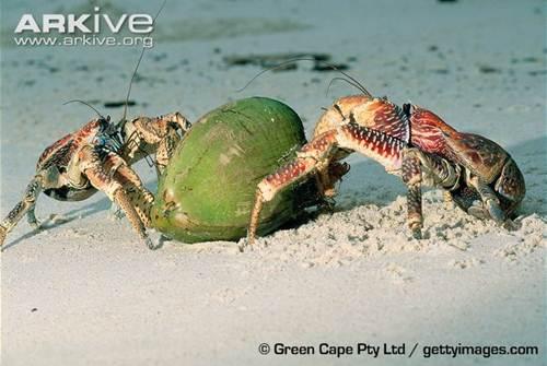 Xem loài cua khổng lồ chuyên đi trộm dừa - Hình 9