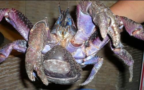 Xem loài cua khổng lồ chuyên đi trộm dừa - Hình 19