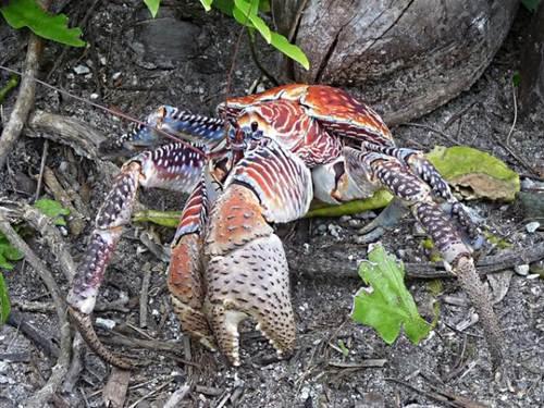 Xem loài cua khổng lồ chuyên đi trộm dừa - Hình 13