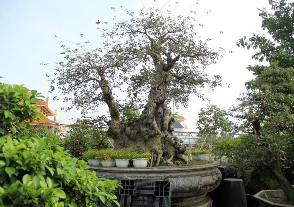 Ngắm cây 100 tuổi một gốc hai loài giá bạc tỷ của nghệ nhân ở Sài Gòn