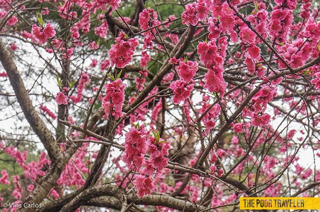 Những biển hoa đẹp ngất ngây tại Nhật Bản