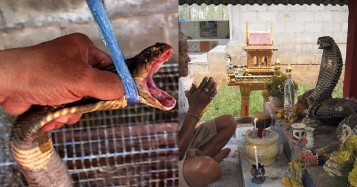 Hổ mang chúa ở Thái Lan - người tôn sùng, người uống máu