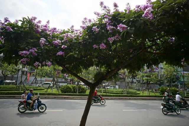 Mùa hoa bằng lăng nở tím trời Hà Nội - Hình 9