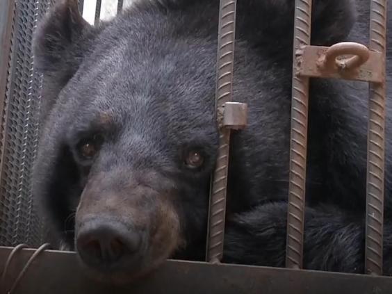 Giật mình khi chó ngao Tây Tạng đang nuôi tự nhiên biến thành gấu đen - Hình 1