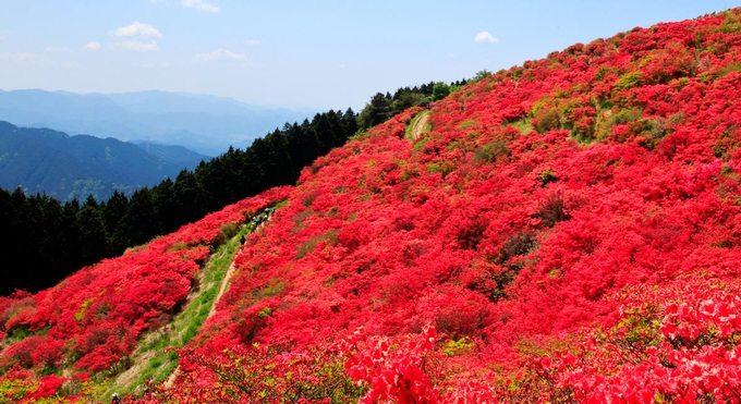 Say lòng mùa hoa đỗ quyên rực rỡ khắp Nhật Bản - Hình 7