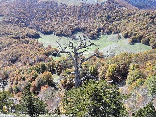 Cây cổ thụ già nhất châu Âu, 1.230 tuổi vẫn không ngừng phát triển - Hình 1