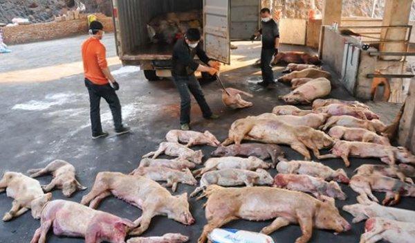 Thứ trưởng Bộ Nông nghiệp tiết lộ cách Trung Quốc ngăn chặn dịch tả lợn châu Phi - Hình 1