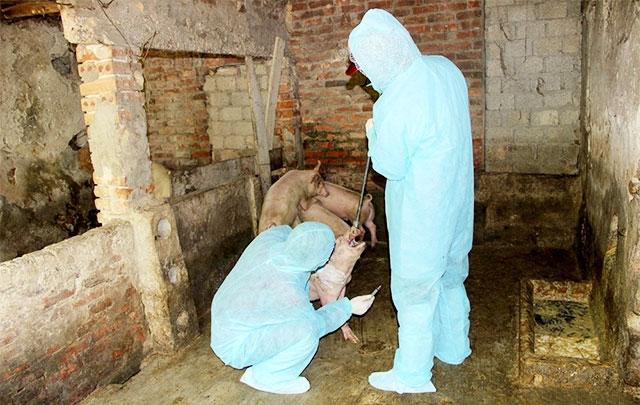 Vì sao dịch tả lợn châu Phi tái bùng phát tại Nghệ An? - Hình 1