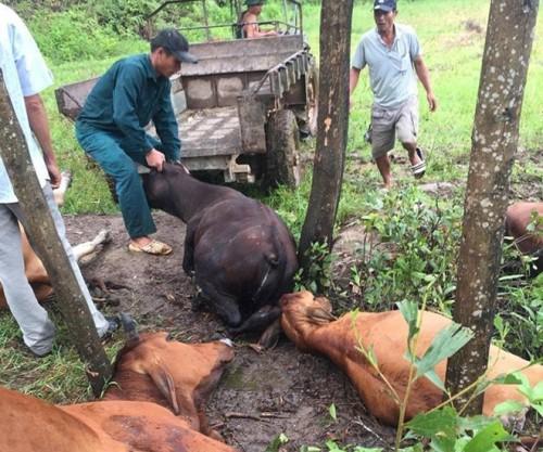 Hà Tĩnh: Một người trọng thương, 6 con bò chết vì sét - Hình 1