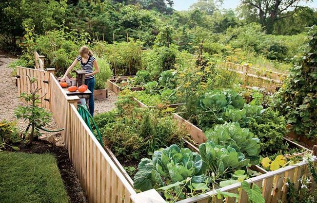 Gia đình sẽ không tốn tiền mua rau củ bên ngoài nhờ biết trồng các loại rau này trong vườn - Hình 2