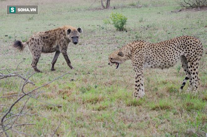 Cất công đi săn nuôi con, báo mẹ bị bóng đen mò tới ăn cướp trắng trợn - Hình 2