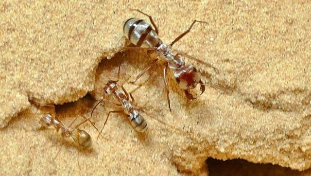 Phát hiện loài kiến có tốc độ di chuyển nhanh nhất thế giới - Hình 1
