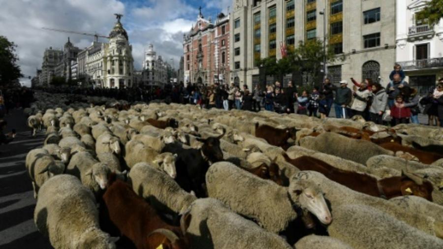 Độc đáo màn diễu hành gia súc tại Thủ đô Tây Ban Nha - Hình 1