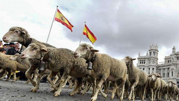 Độc đáo màn diễu hành gia súc tại Thủ đô Tây Ban Nha - Hình 2