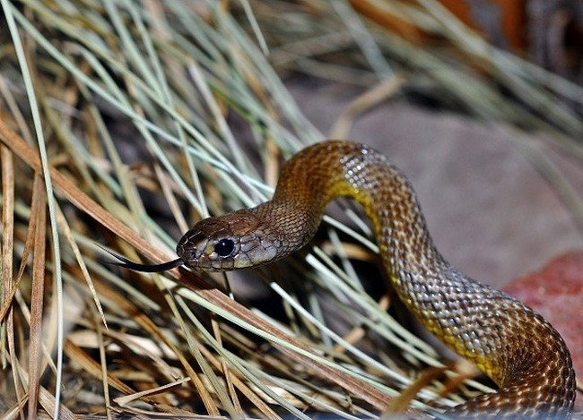 Nọc độc gấp 50 rắn hổ mang, đây mới là loài rắn độc nhất hành tinh - Hình 1
