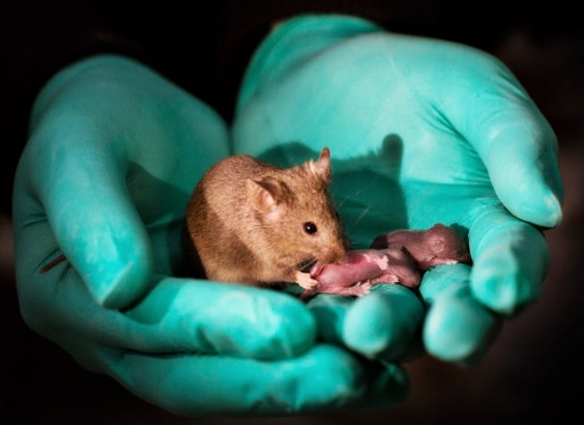 Tạo phôi thai chuột không cần trứng và tinh trùng - Hình 1