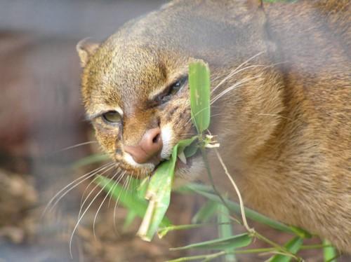 Khám phá choáng loài mèo ăn tạp, thích sống... trên cây - Hình 2