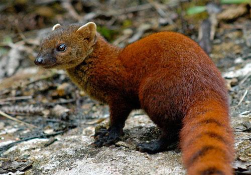 Loài cầy có đuôi lạ không tưởng, khoái ăn rắn kịch độc - Hình 1