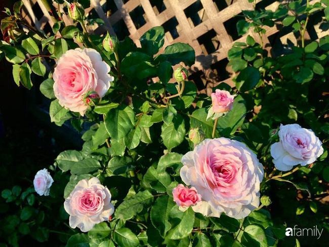 Mẹ Việt dồn hết tâm huyết để biến góc nhỏ trong vườn trở thành khu vườn hồng đẹp ngọt ngào - Hình 2