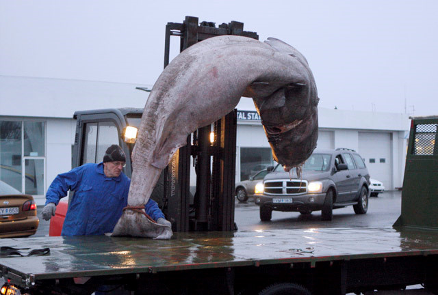 Iceland có món cá mập thối kinh dị đến mức khiến Gordon Ramsay nôn mửa ngay khi vừa nếm, nhưng nhiều người vẫn thích mê - Hình 1