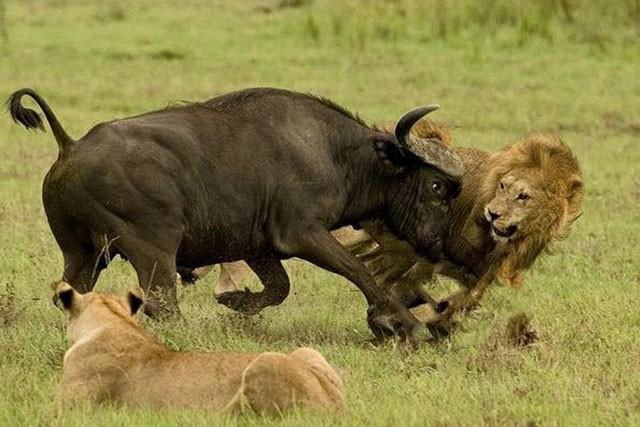 Trâu rừng phát điên, húc sư tử bay lên trời - Hình 1