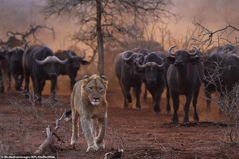 Non kinh nghiệm, đôi sư tử tháo chạy khi gặp trâu rừng - Hình 2