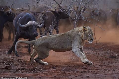 Non kinh nghiệm, đôi sư tử tháo chạy khi gặp trâu rừng - Hình 4