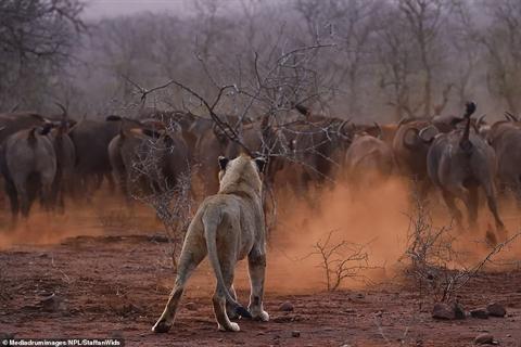 Non kinh nghiệm, đôi sư tử tháo chạy khi gặp trâu rừng - Hình 5