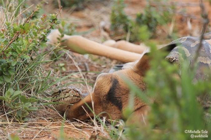 Rùng mình cảnh trăn đá châu Phi nuốt chửng linh dương - Hình 2