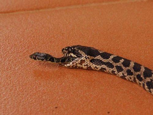 Ảnh đáng sợ về loài rắn khiến bạn muốn ngất ngay lập tức - Hình 1