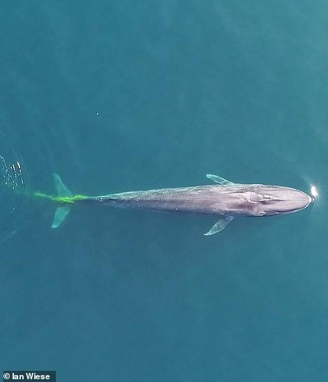 Bắt trúng khoảnh khắc cá voi vừa bơi tung tăng vừa 'đi nặng' - Hình 2