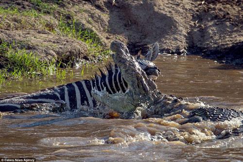 Cá sấu mất mặt khi bị ngựa vằn cho ngửi khói - Hình 1