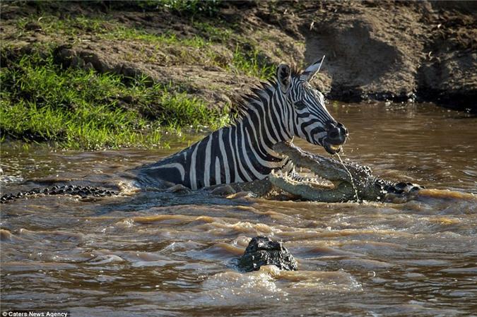 Cá sấu mất mặt khi bị ngựa vằn cho ngửi khói - Hình 2