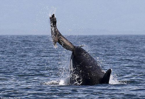 Cá voi sát thủ hất tung hải cẩu rồi xơi tái - Hình 1