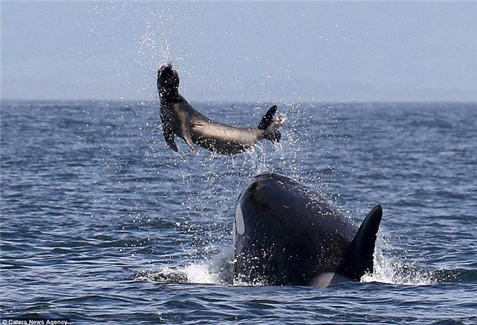 Cá voi sát thủ hất tung hải cẩu rồi xơi tái - Hình 2