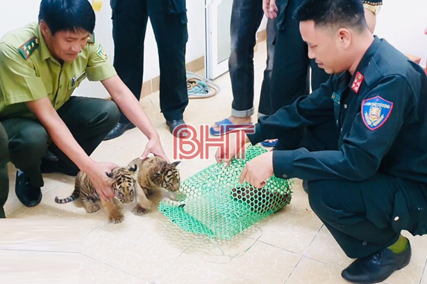 Hà Tĩnh phát hiện vụ vận chuyển 2 cá thể hổ con quý hiếm - Hình 1