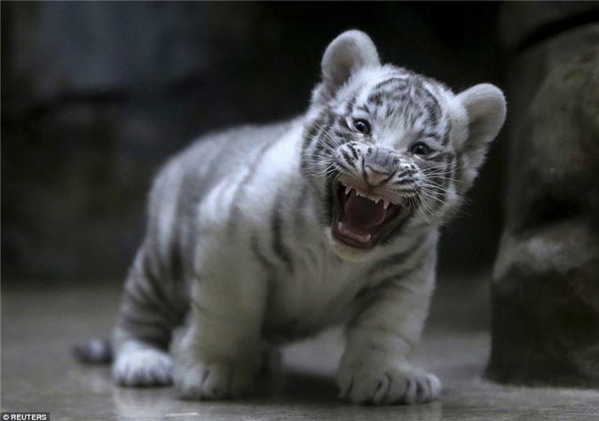 Hổ trắng con khoe răng nanh non nớt cực yêu - Hình 2