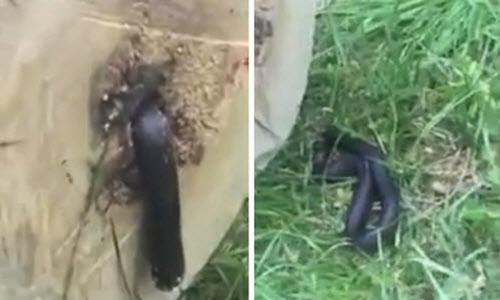 Kinh hãi rắn bị cưa đôi vẫn chui nhúc ra thân cây - Hình 1