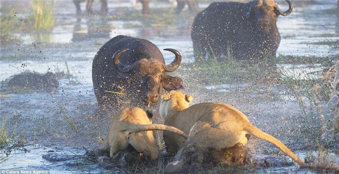 Trâu rừng hung hãn húc chết sư tử bảo vệ đồng loại - Hình 3