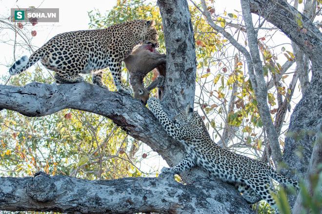 Báo cái bị báo đực cướp thức ăn ngay trên cây và trận chiến khi bị dồn tới ngõ cụt - Hình 2