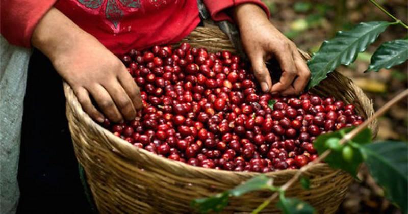 Giá cà phê hôm nay 20/11: Vì sao giá cà phê đồng loạt giảm mạnh 500 đồng/kg? - Hình 1