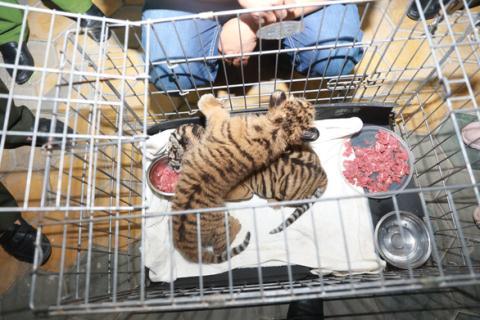 Hai con hổ bị vứt trên quốc lộ: Vẫn khỏe mạnh - Hình 1