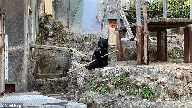 Phát sốt với chú gấu kungfu xoay gậy điêu luyện ngoài đời thực - Hình 1